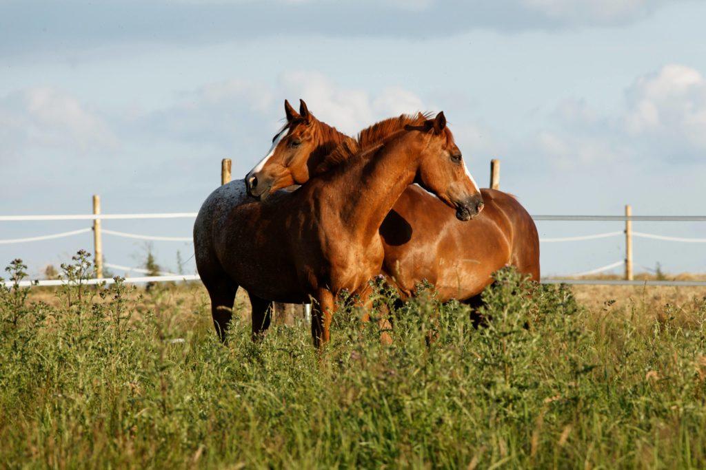 chevaux câlins procheval