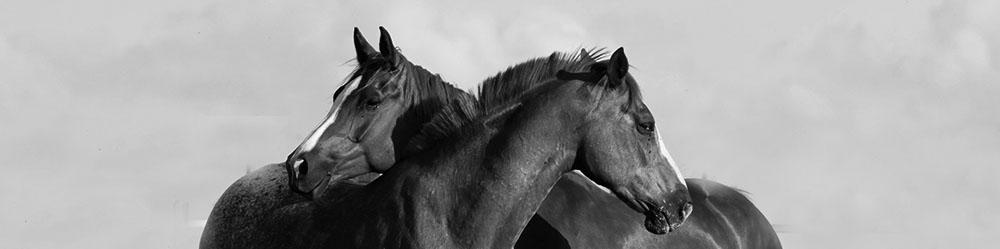 médiation équine deux chevaux complicité